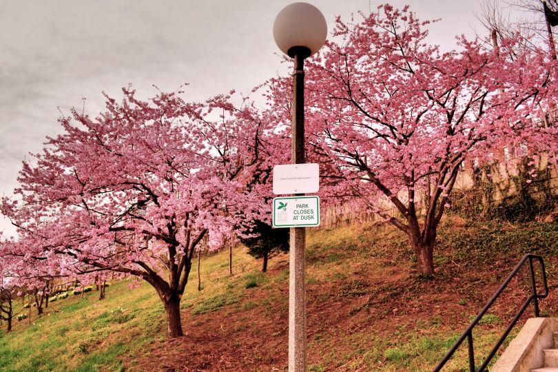 image 05 cherry blossom